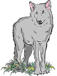 волк -1
